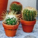 Cactus Houseplants