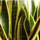 snake plant care instructions