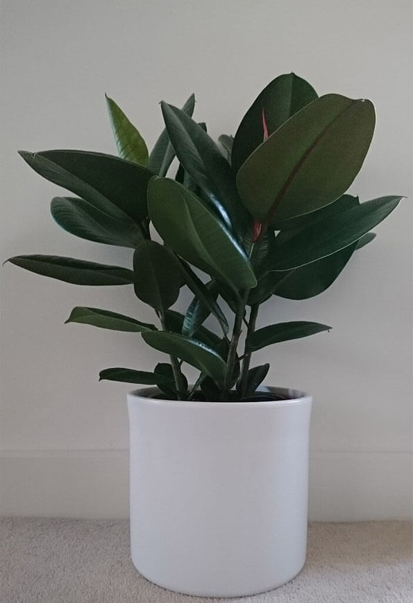 A Rubber Plant often starts off as a small houseplant but can quickly grow into a very tall plant
