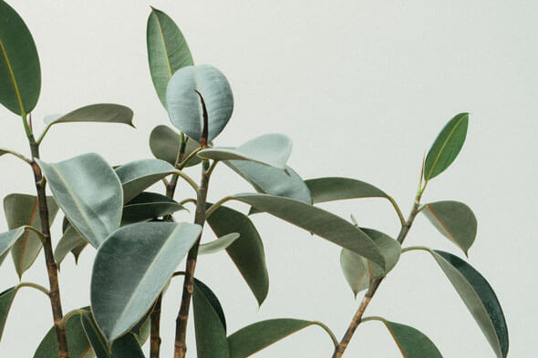 Ficus elastica (Rubber Plant) Guide | Our House Plants
