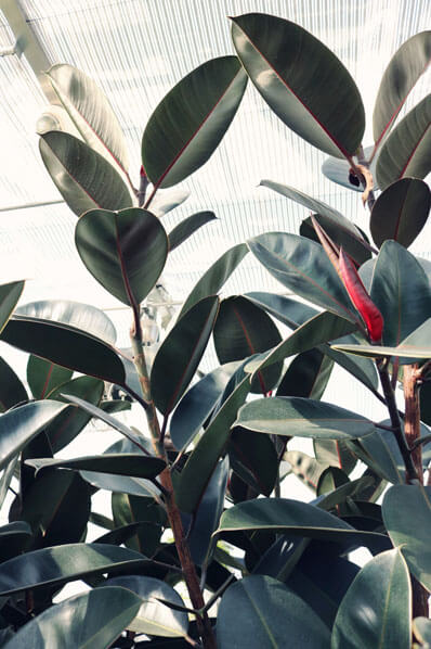 Rubber Plant with red leaf sheath, photo by Madison Inouye