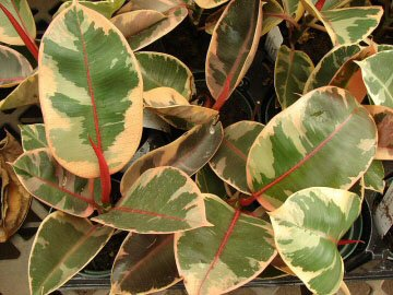 Rubber Plants can also have attractive variegation