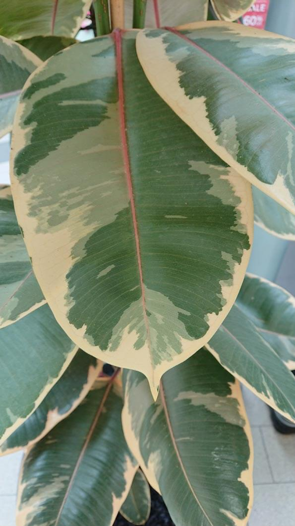 Rubber Trees can also have attractive variegation as the plant in this photo shows