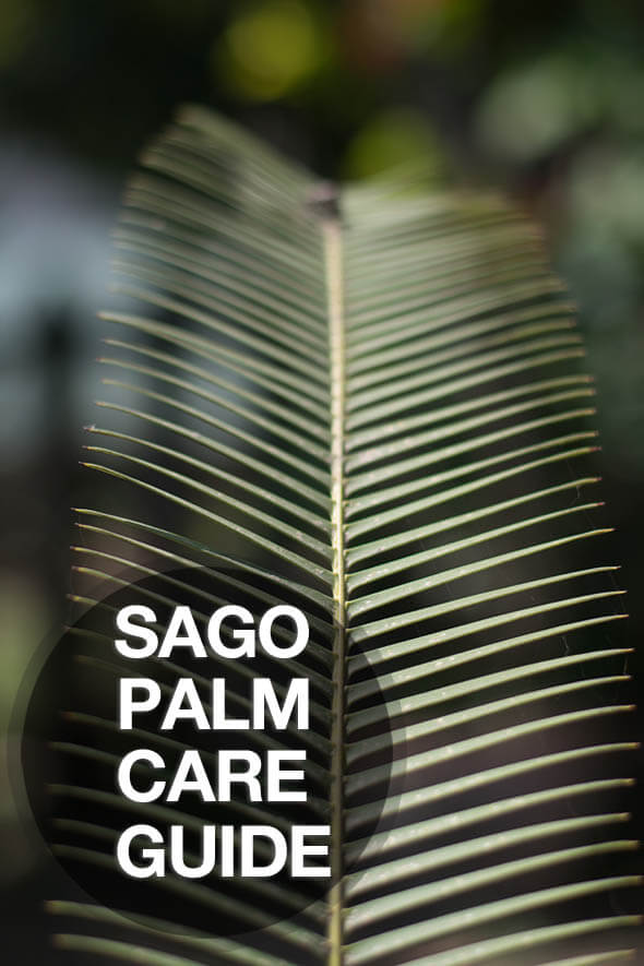 Time to learn how to correctly care for your Sago Palm with our care instructions
