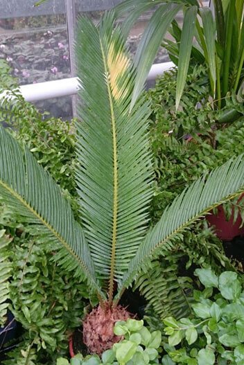 Sago Palm with yellowing leaves