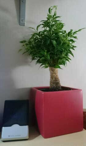 A small Weeping Fig houseplant