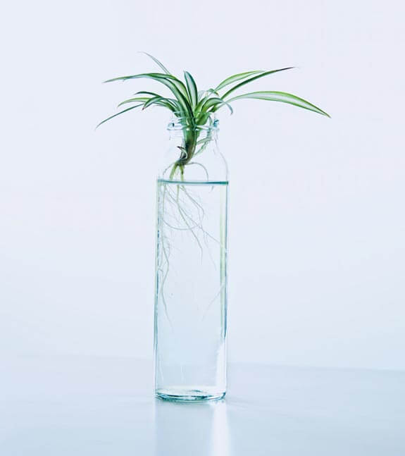 Spider Plant baby which is being rooted in water