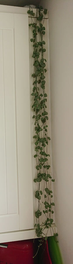 String of Hearts trailing down a kitchen cupboard