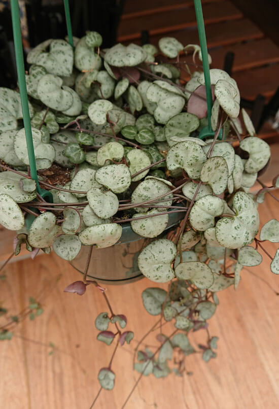 String of Hearts or Ceropegia Woodii being grown as a houseplant in a hanging pot
