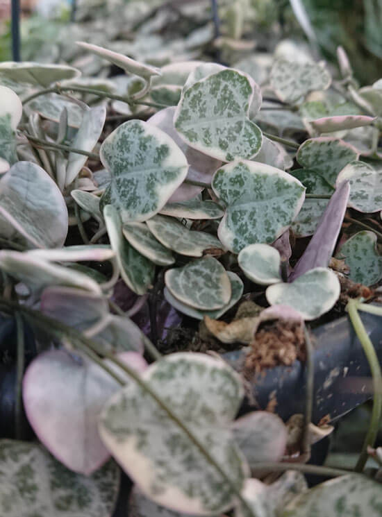 Variegated String of Hearts or Ceropegia Woodii