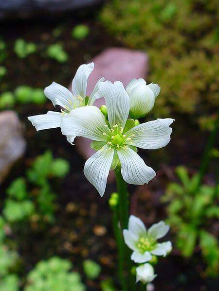 Venus Flytraps do produce flowers sometimes - photo by H. Zell