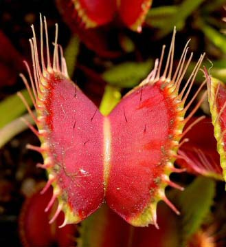 This Venus Flytrap has red leaves and traps