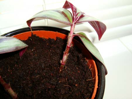 Propagation of a Wandering Jew Plant