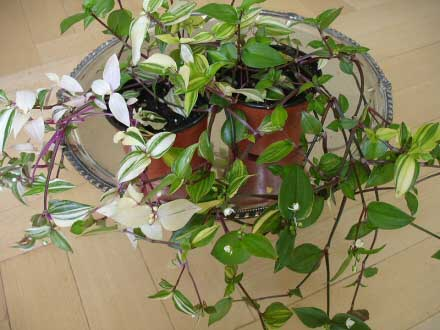 A Wandering Jew Plant with white and cream stripes in the leaves