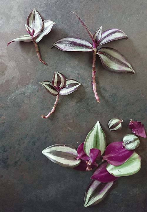 Remove the lower leaves of your Tradescantia to give it the best chance