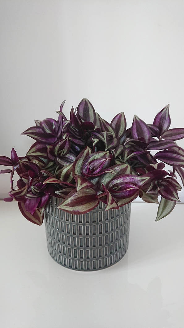 Wandering Jew Plant / Inch Plant (Tradescantia zebrina ... on house plant rubber plant, poisonous plants with purple leaves, purple foliage plants with leaves, house plants with bronze leaves, house plants with waxy red blooms, house plants and their names, perennial plants with purple leaves, house plants with shiny leaves, house plants with dark red leaves, house plants with small leaves, wandering jew with fuzzy leaves, purple house plant fuzzy leaves, olive tree green leaves, house plant purple heart, house with red flowers, house plants with colorful leaves, house plants with light green leaves, florida plants with red leaves, tomato plants with purple leaves, house plants with long green leaves,
