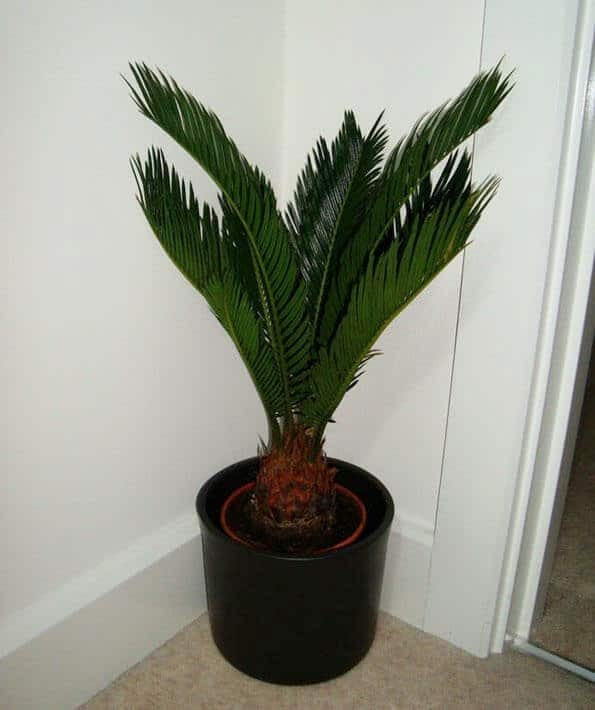 Sago Palm (Cycas revoluta) Guide | Our House Plants Big Leaf House Palm Tree Plant Images on