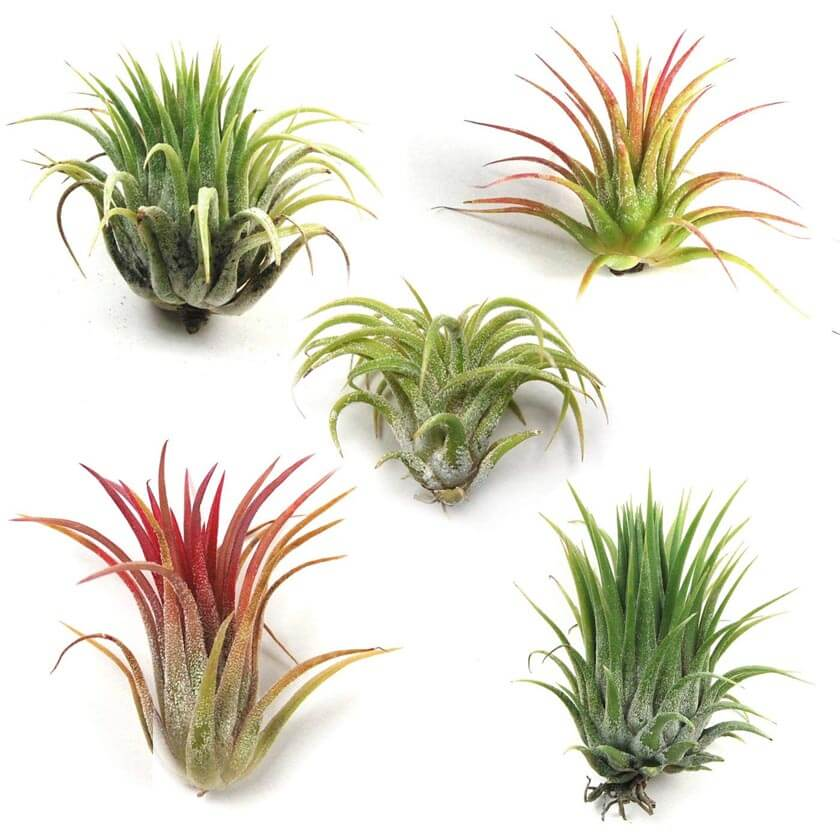 Complete Guide To Air Plants Tillandsia Our House Plants