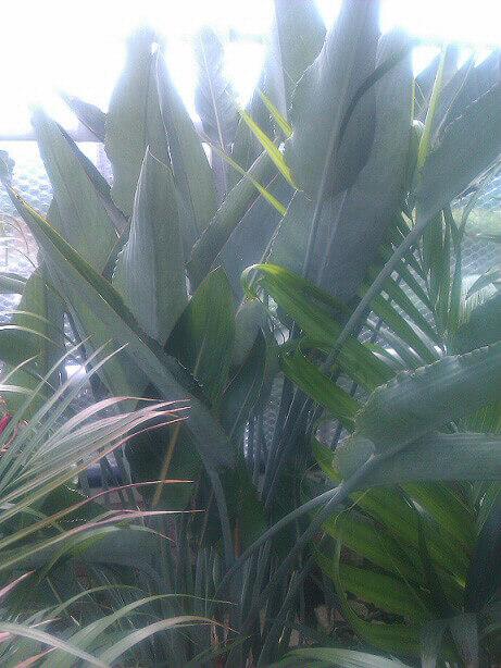 Strelitzia Bird Of Paradise Guide Our House Plants