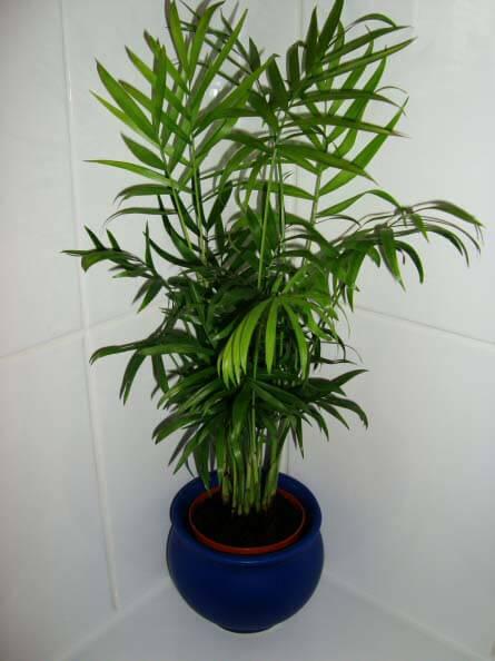 Chamaedorea Elegans Parlour Palm Neanthe Bella Palm