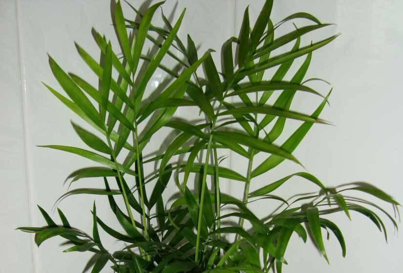 Chamaedorea elegans (Parlour Palm / Neanthe bella palm ... on