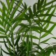 The green fronds of Chamaedorea elegans or the Parlour Palm