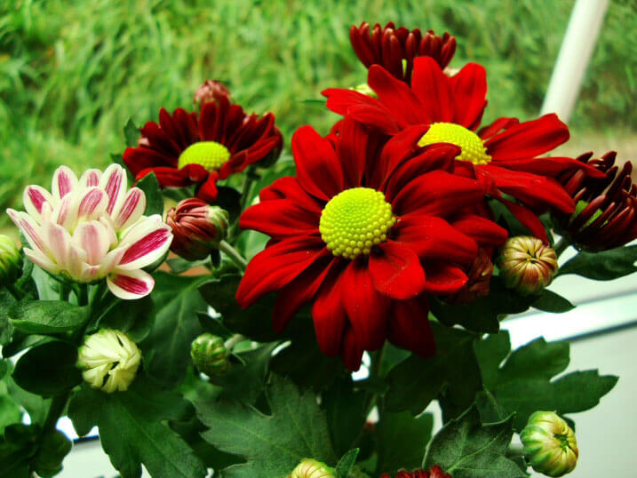 Red Flowering House Plants chrysanthemum (pot mum / florist's mum) | our house plants