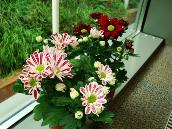 Chrysanthemum pot mum florist 39 s mum our house plants - Plantes interieur depolluante ...