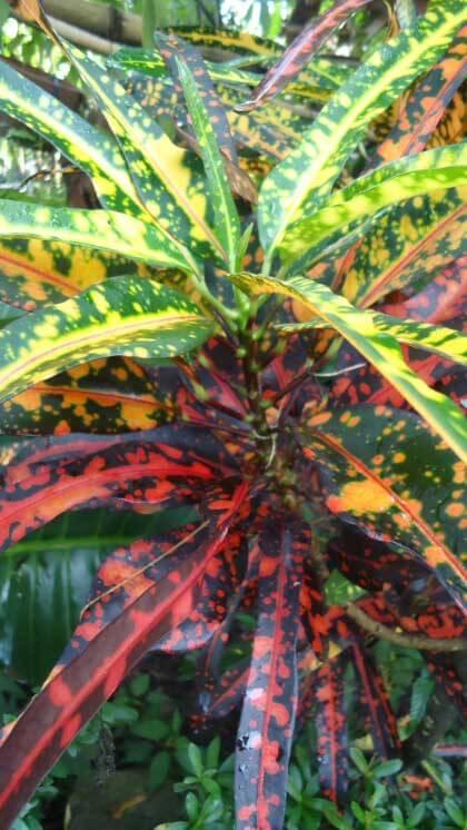 Croton joseph 39 s coat codiaeum variegatum our house for Croton plant