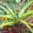 Green, yellow and red Croton leaves by Obsidian Soul