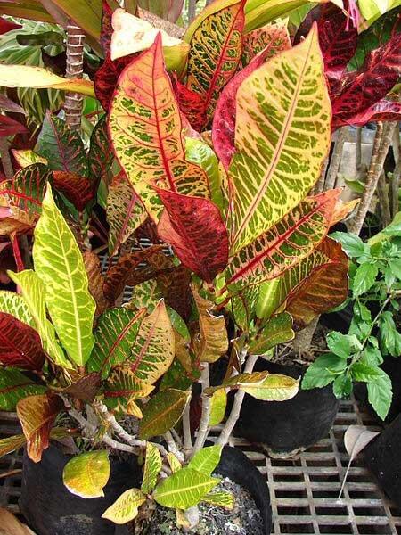 Croton Joseph S Coat Codiaeum Variegatum Guide Our