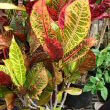 Photo by Forest & Kim Starr showing Codiaeum variegatum pictum with mutiple different leaf colours