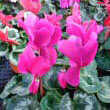 A Cyclamen persicum with deep pink flowers