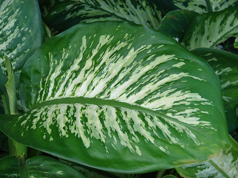 Dieffenbachia Dumb Cane Leopard Lily Guide Our House