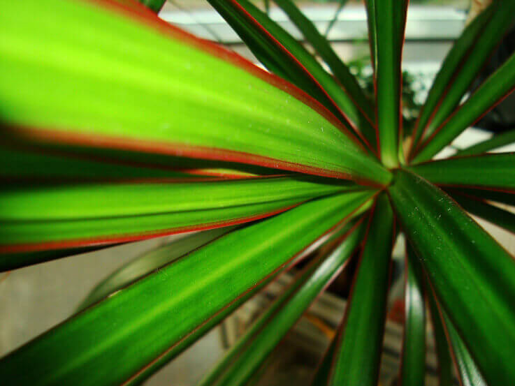 Original Madagascar Dragon Tree Leaves With Its Clic Red Edges