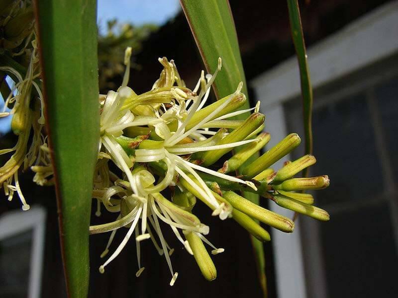 Dracaena Marginata Madagascar Dragon Tree Guide Our House Plants