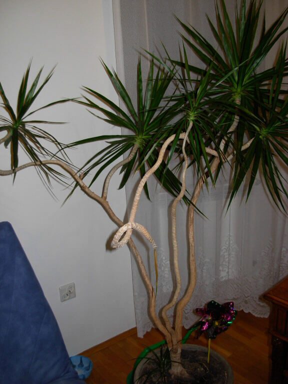 Dracaena-marginataL7 Palm Like Plant Small Tree House on palm tree umbrella plant, small plants that look like trees, sago palm house plant, small south carolina palm tree, small indoor tree plant, dragon tree house plant,