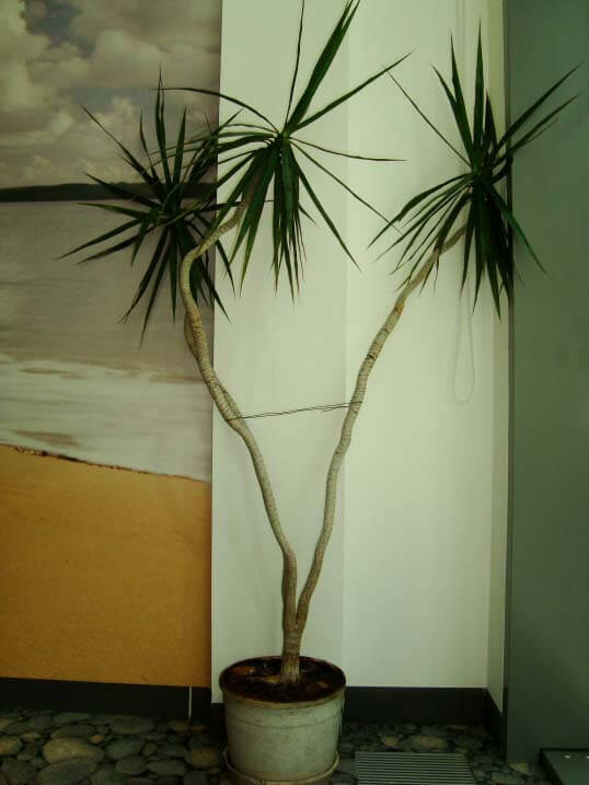 Dracaena Marginata Madagascar Dragon Tree Guide Our