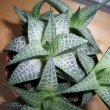 Haworthia tessellata or Star Window Plant