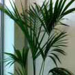 This Kentia Palm or Pardise Palm stands strong in the corner of an office