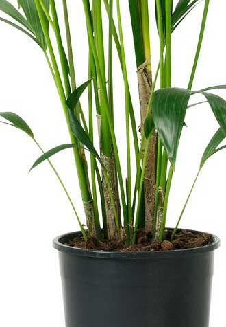 Howea_forsteriana_kentia_palm3L Palm Like Leaves Large Plant House on palm like succulents, palm like flower, palm like leaves, palm like fern, palm like weeds,