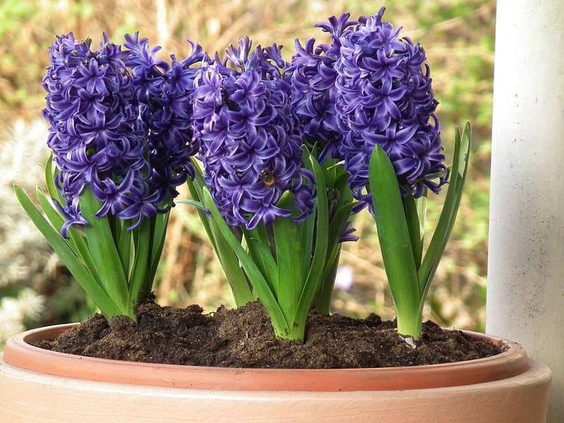 several blue hyacinths in a container by 4028mdk09
