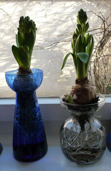 Dutch Hyacinth Hyacinthus Orientalis Guide Our House Plants