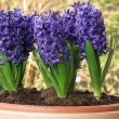 This photo shows five or six flowering blue Hyacinths in a container by 4028mdk09