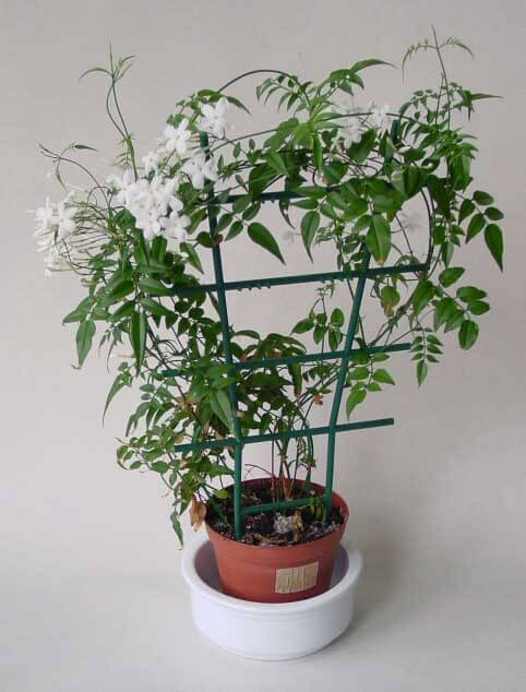 a jasminum polyanthum grown up and around a suitable plastic frame