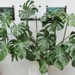 Some houseplants can grow very quickly like this well cared for Monstera