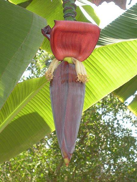 Pictures Of Banana Tree Flowers