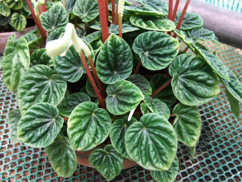 Image result for Peperomia