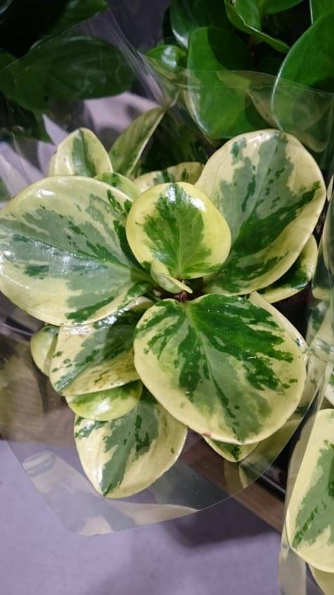 Peperomia (Radiator Plant / Desert Privet Plant) Guide | Our House on yellow and green interior design, yellow and green evergreen, yellow and green tree, yellow and green tomatoes, yellow and green garden, yellow and green vine, yellow and green food, yellow and green grass, yellow and green herbs, yellow and green perennial, yellow and green hedge,