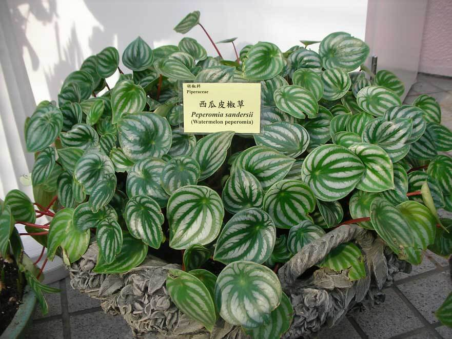 Peperomia radiator plant desert privet watermelon for Plante interieur